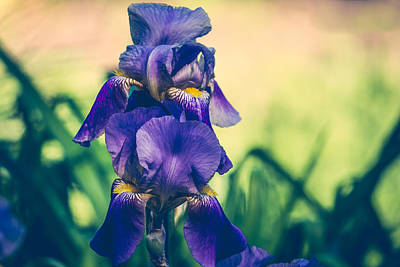 Photograph - Iris Beauty by Sara Frank
