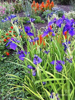Photograph - Iris Bloom by Mark Messenger
