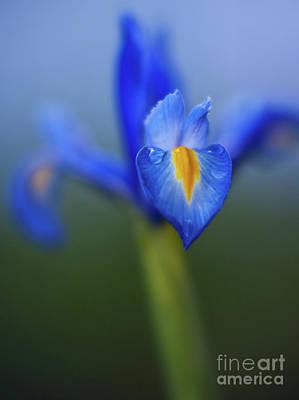 Irises Photograph - Iris Blues by Mike Reid