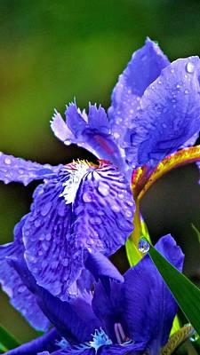 Irises Photograph - Iris by Carol R Montoya