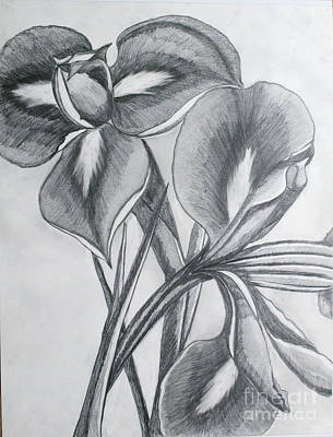 Drawing - Iris by Cecilia Stevens