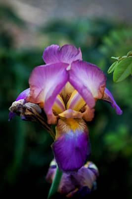 Photograph - Iris by Cherie Duran