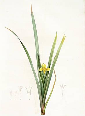 Iris Drawing - Iris Curtopetala, Iris Pseudacorus Iris à Pétales Bossus by Artokoloro