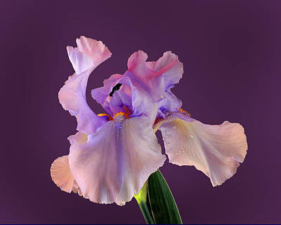 Photograph - Iris by Don Wolf