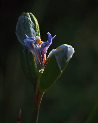 Photograph - Iris Emerging  by Rona Black