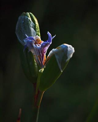 Iris Photograph - Iris Emerging  by Rona Black