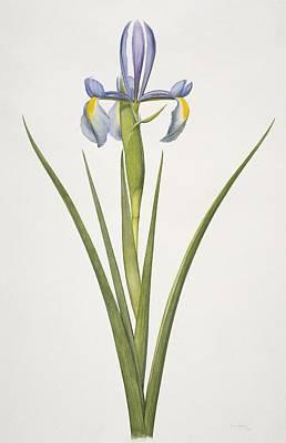 Iris Flower, 20th Century Art Print