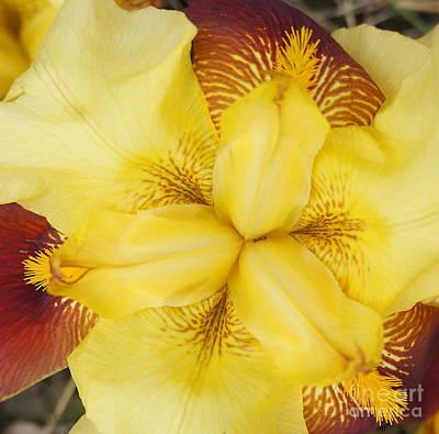 Photograph - Iris Flower 3 by Rachel Munoz Striggow