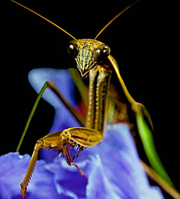 Canibal Photograph - Macro Closeup Of The Praying Mantis On A Blue Iris Flower by Leslie Crotty