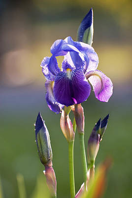 Summer Photograph - Iris Flower by Yuri Santin