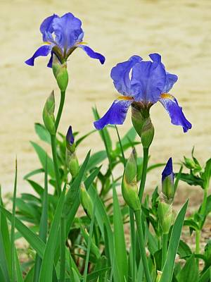 Photograph - Iris Flowers And Buds by MTBobbins Photography