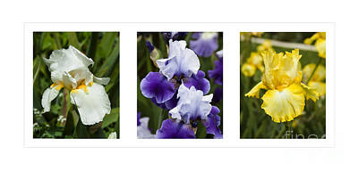 Photograph - Iris Flowers In Purple White Yellow All In One by Jerry Cowart