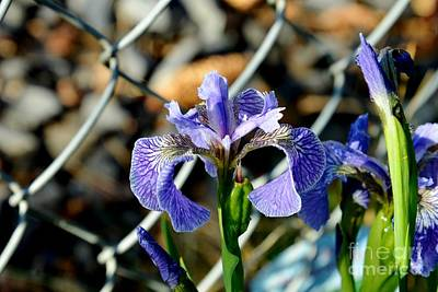 Photograph - Iris by Galina Khlupina
