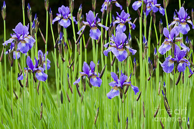 Photograph - Iris Garden by Alan L Graham