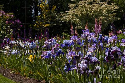 Iris Garden Print by Mandy Judson