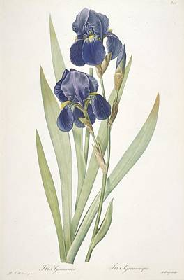 Violet Drawing - Iris Germanica Bearded Iris by Pierre Joseph Redoute