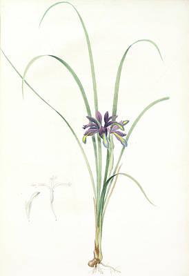 Iris Drawing - Iris Graminea, Iris à Feuilles De Gramen by Artokoloro