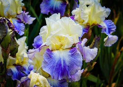 New Years Royalty Free Images - Iris in blue and yellow Royalty-Free Image by Patricia Babbitt