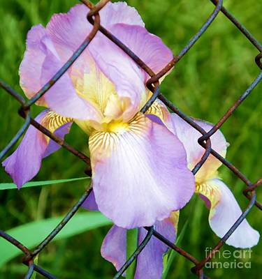 Pop Art Rights Managed Images - Iris in Chains Royalty-Free Image by Lilliana Mendez