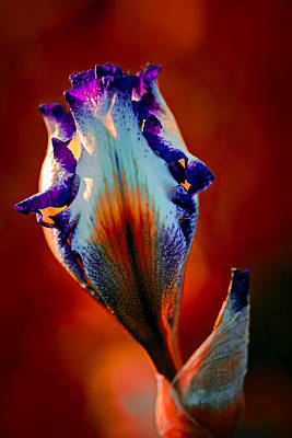 Photograph - Iris In Red by Tomasz Dziubinski
