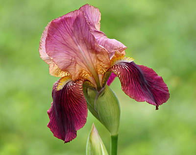 Photograph - Iris In The Breeze by Sandy Keeton