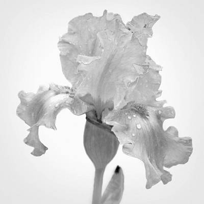 Photograph - Iris In The Rain by David and Carol Kelly