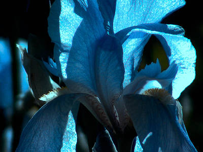 Photograph - Iris by Karen Kersey