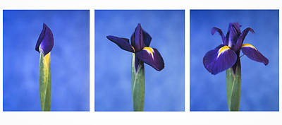 Art Print featuring the photograph Iris by Lana Enderle