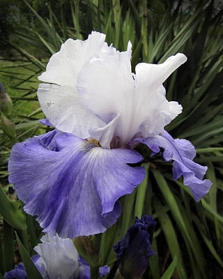 Photograph - Iris Lavender And White Floral Photograph by Ann Powell