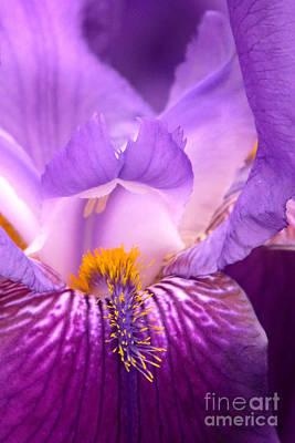 Photograph - Iris Macro by Frank Townsley
