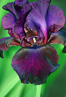Bouquet Photograph - Iris Chrysographes by Marcia Colelli