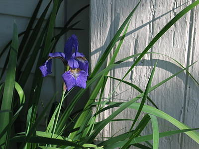 Photograph - Iris by Mark C Ettinger