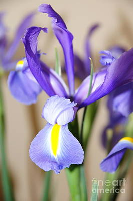 Nature Photograph - Iris by Megan Cohen