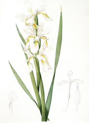 Iris Drawing - Iris Ochroleuca, Iris Jaune Blanc Salt Marsh Iris, Sea by Artokoloro