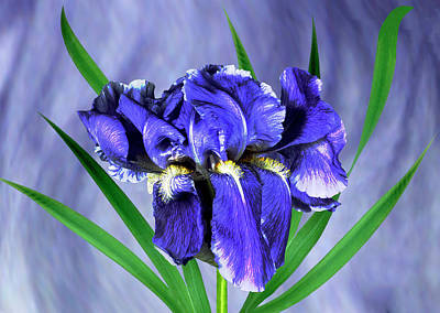 Iris Pallida Flowers Art Print by Archie Young