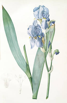 Iris Drawing - Iris Pallida, Iris Pâle, Dalmatian Iris Sweet Iris Orris by Artokoloro