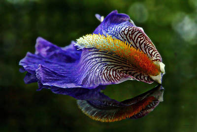 Photograph - Iris Petal Reflections by Suzanne Stout