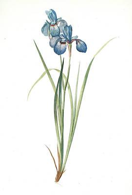 Iris Drawing - Iris Pratensis, Iris De Prés, Redouté, Pierre Joseph by Artokoloro