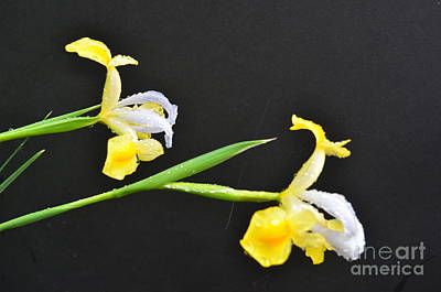 Photograph - Iris by Randy J Heath