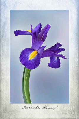 Weeds Digital Art - Iris Reticulata by John Edwards
