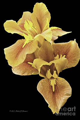 Photograph - Iris by Richard J Thompson