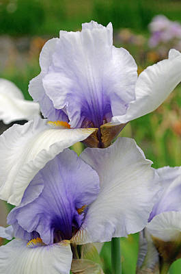 Photograph - Iris Spring by Tikvah's Hope
