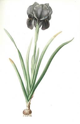 Iris Drawing - Iris Susiana, Iris Suzianna Iris De Suse Mourning Iris by Artokoloro