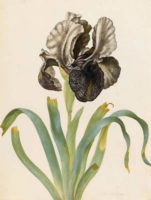 Irises Drawing - Iris Susiana by Maria Sibylla Graff Merian