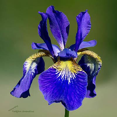 Siberian Iris Photograph - Iris by Torbjorn Swenelius