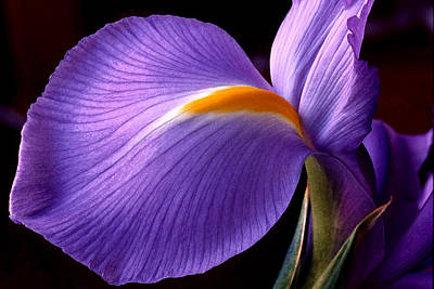 Photograph - Iris V by Michael Moschogianis
