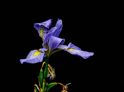 D700 Photograph - Iris Virginica by Chris Modlin