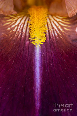 Anthers Photograph - Iris Vladimir Vojtkevich by Tim Gainey