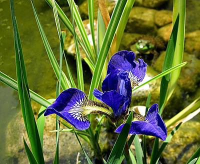 Photograph - Iris With Frog by MTBobbins Photography