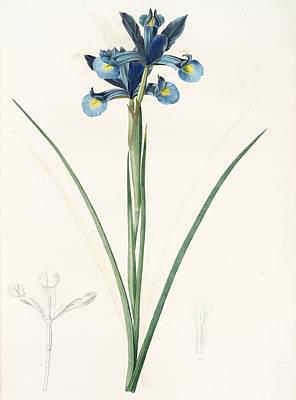 Iris Drawing - Iris Xiphium, Iris Xiphium Iris Xiphium Spanish Iris by Artokoloro